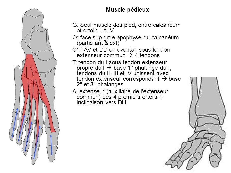 Muscle pédieuxG: Seul muscle dos pied, entre calcanéum et orteils I à IV. O: face sup grde apophyse du calcanéum (partie ant & ext)