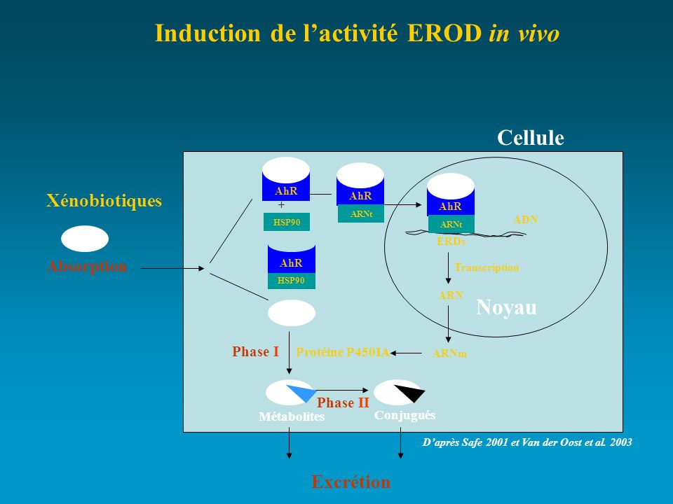 Induction de l'activité EROD in vivo