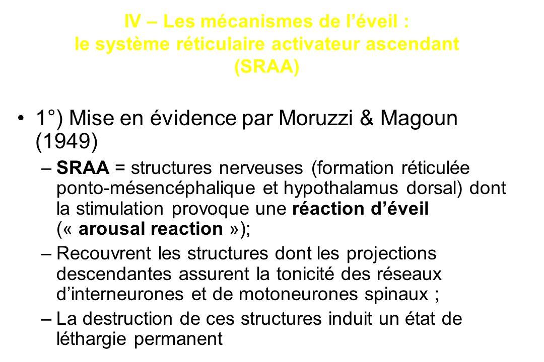 1°) Mise en évidence par Moruzzi & Magoun (1949)