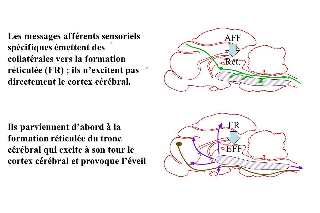 Les messages afférents sensoriels spécifiques émettent des collatérales vers la formation réticulée (FR) ; ils n'excitent pas directement le cortex cérébral.