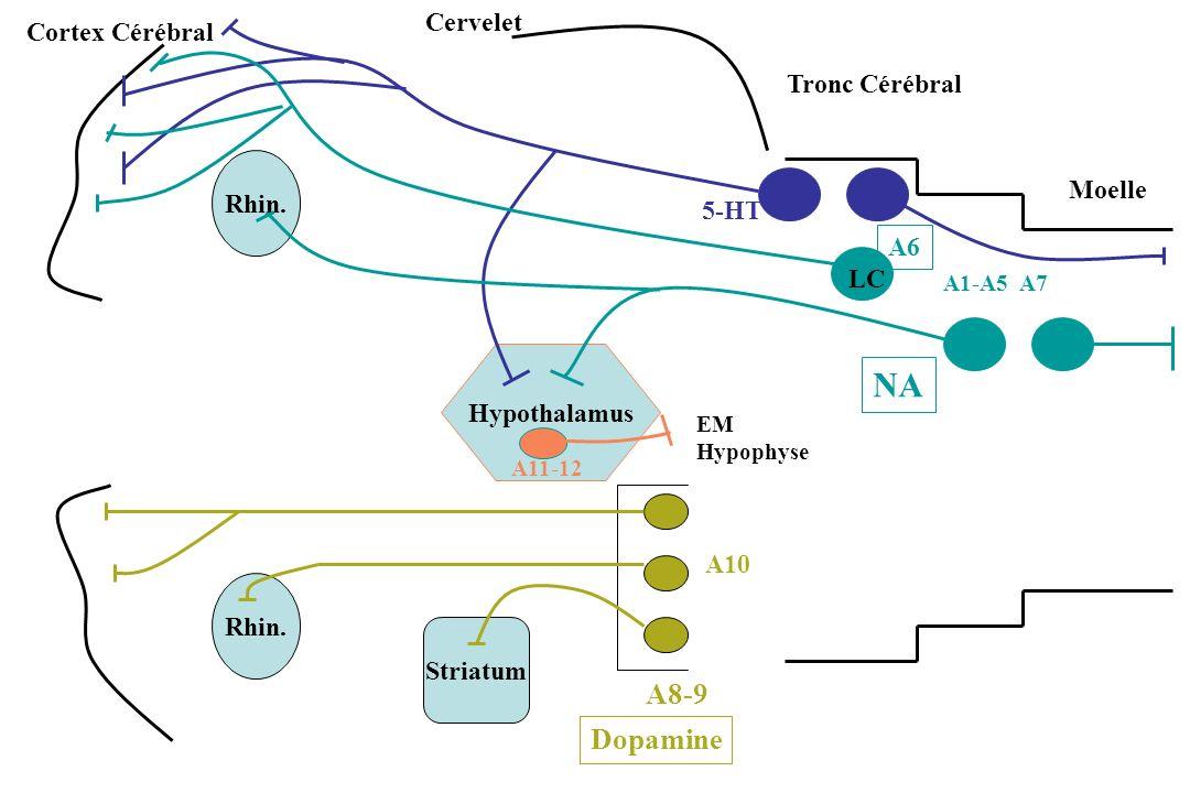 NA A8-9 Dopamine Cervelet Cortex Cérébral Tronc Cérébral Rhin. Moelle