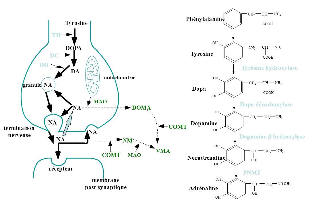 terminaison nerveuse membrane post-synaptique