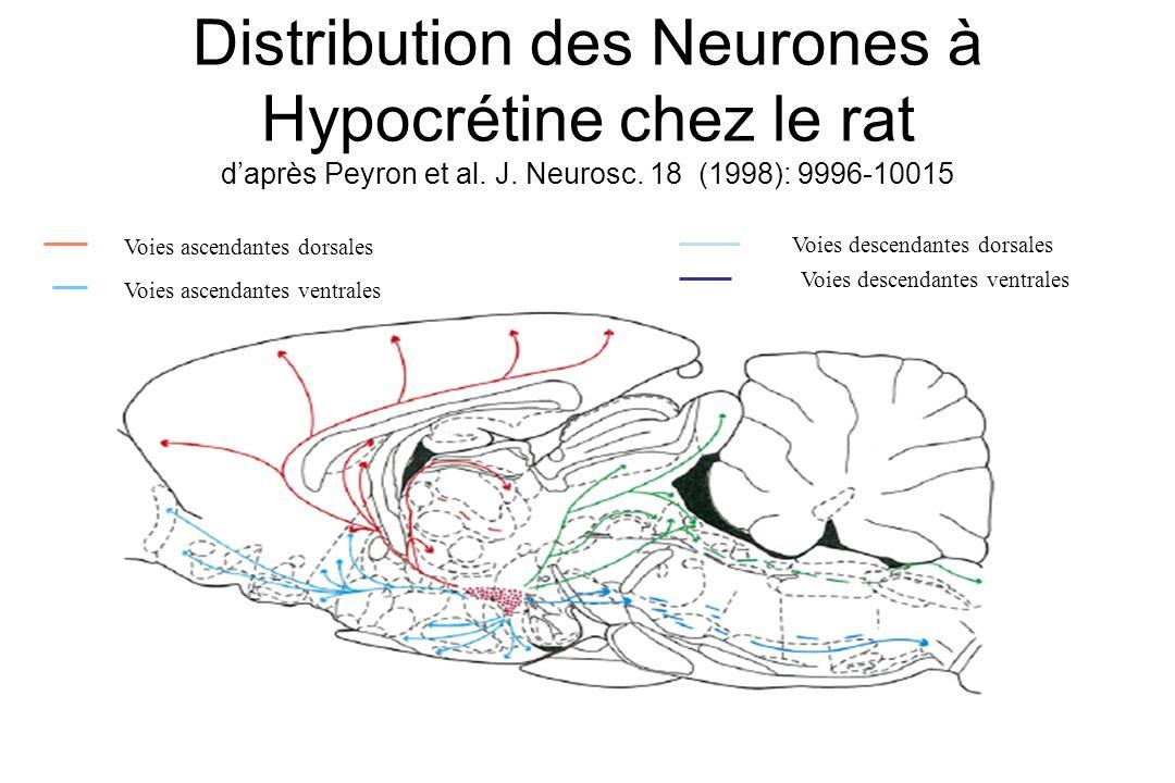 Distribution des Neurones à Hypocrétine chez le rat d'après Peyron et al. J. Neurosc. 18 (1998): 9996-10015