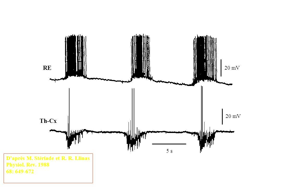 RE Th-Cx 20 mV 20 mV 5 s D'après M. Stériade et R. R. Llinas