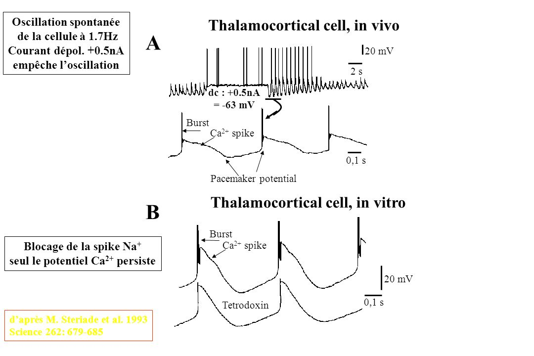 A B Thalamocortical cell, in vivo Thalamocortical cell, in vitro