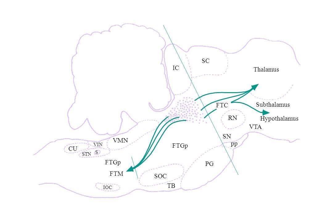 SC IC Thalamus FTC Subthalamus RN Hypothalamus VTA SN VMN pp FTGp CU