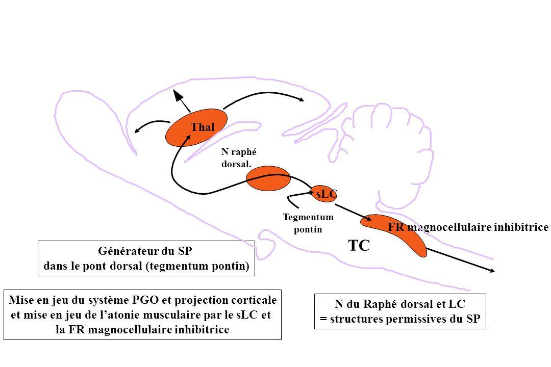 TC Thal sLC FR magnocellulaire inhibitrice Générateur du SP