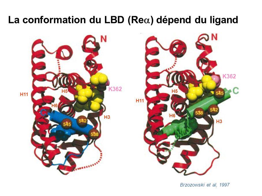 La conformation du LBD (Rea) dépend du ligand
