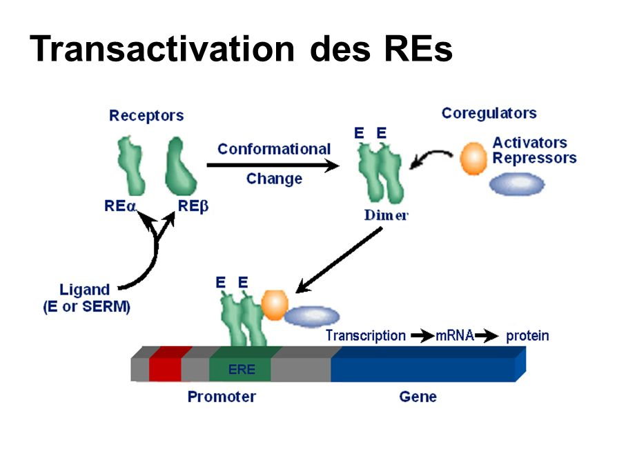 Transactivation des REs