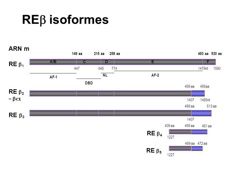 REb isoformes ARN m RE b1 RE b2 = bcx RE b3 RE b4 RE b5 149 aa 215 aa