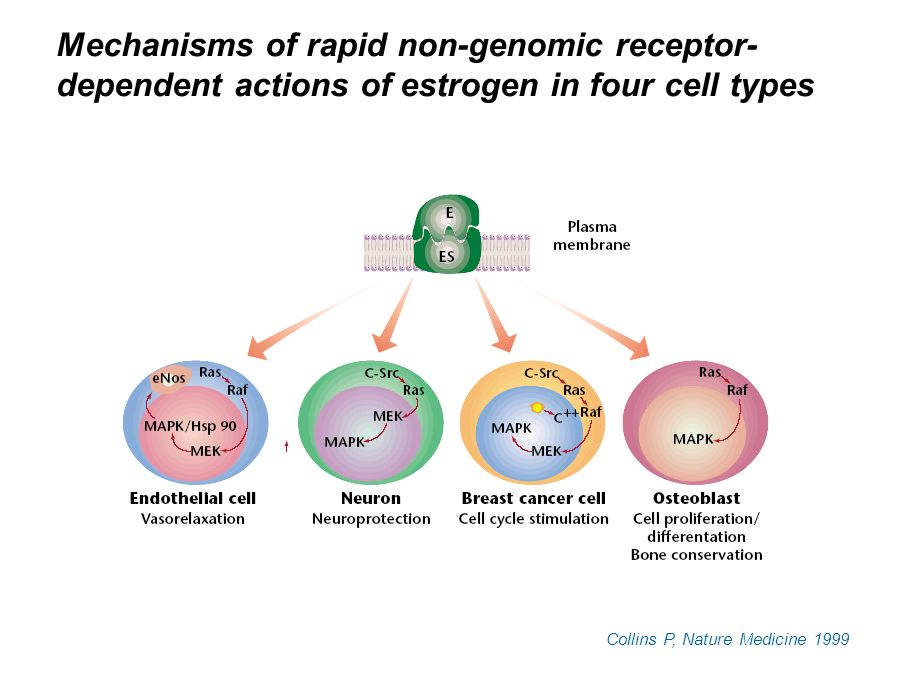 Mechanisms of rapid non-genomic receptor-dependent actions of estrogen in four cell types