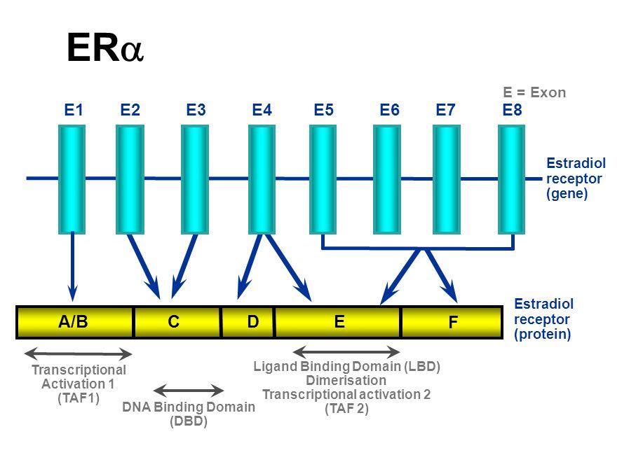 ERa A/B C D E F E1 E2 E3 E4 E5 E6 E7 E8 E = Exon