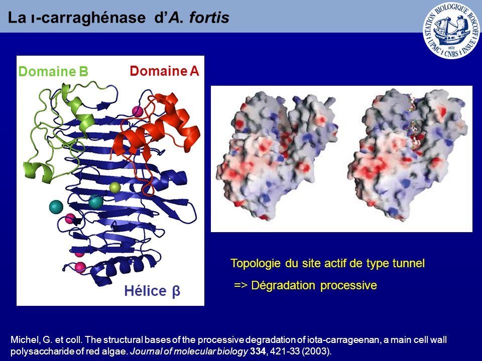La ι-carraghénase d'A. fortis