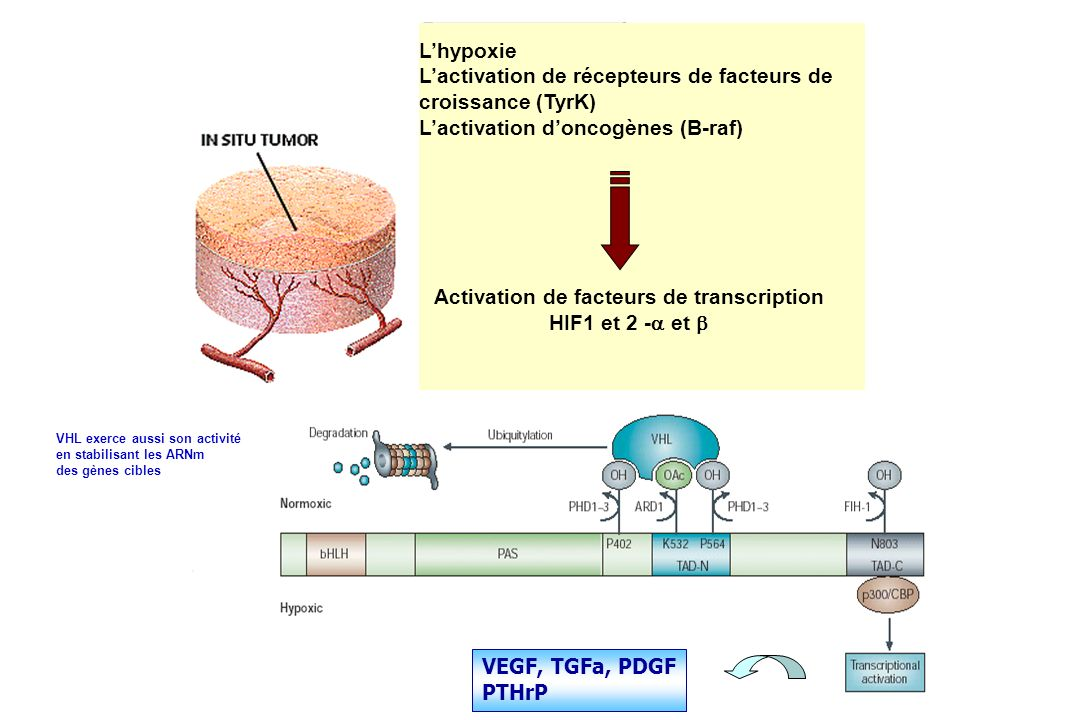 Activation de facteurs de transcription HIF1 et 2 -a et b