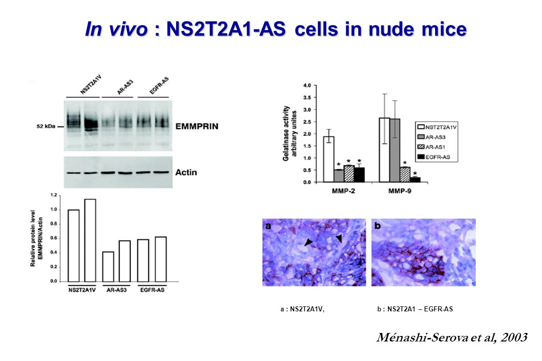 In vivo : NS2T2A1-AS cells in nude mice