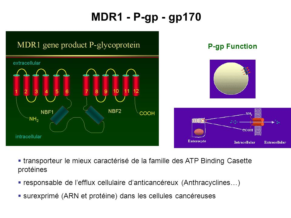 MDR1 - P-gp - gp170 P-gp Function