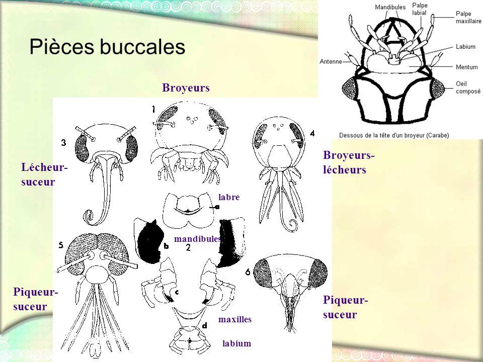 Pièces buccales Broyeurs Broyeurs- lécheurs Lécheur- suceur Piqueur-