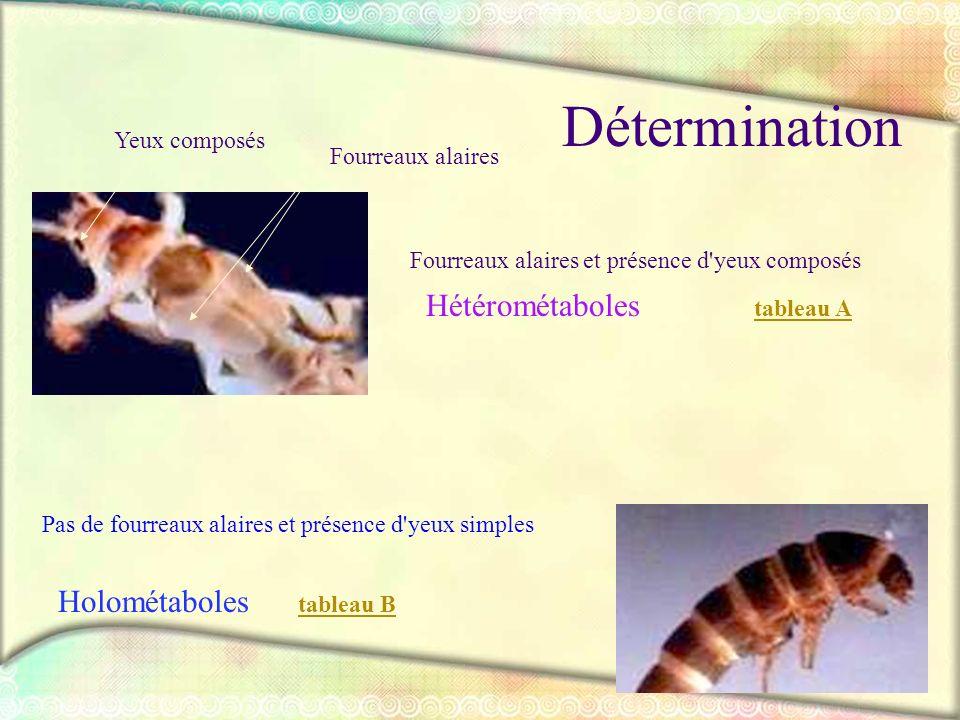 Détermination Hétérométaboles Holométaboles Yeux composés