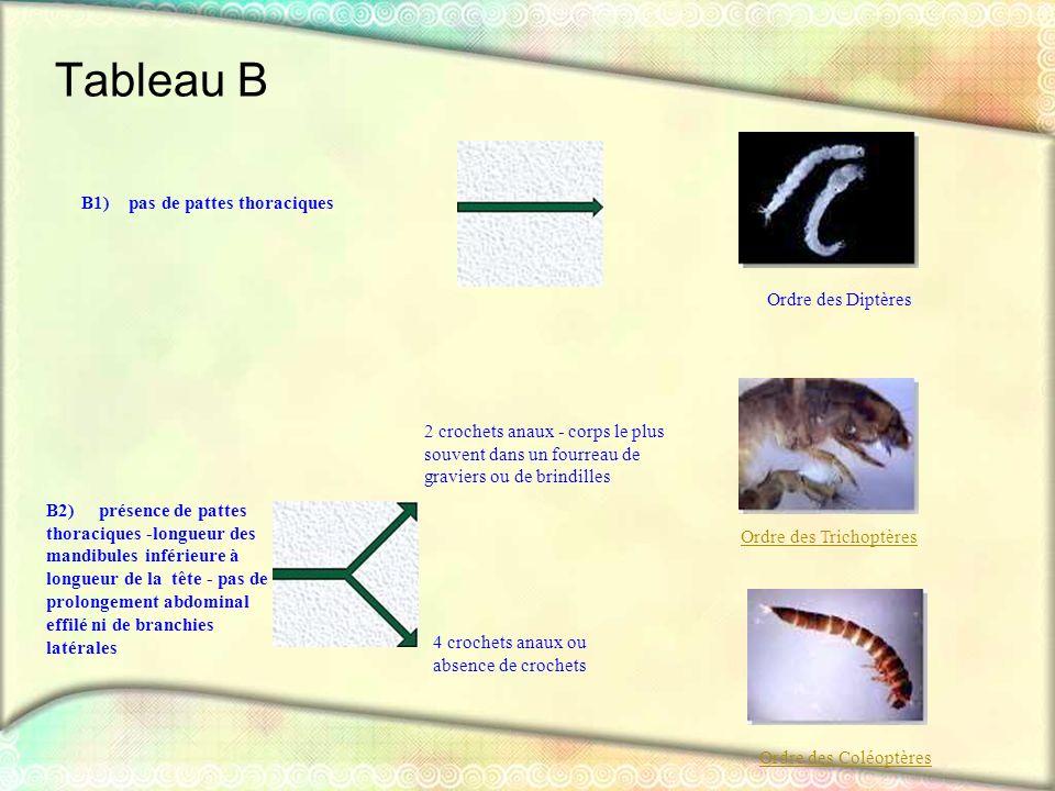 Tableau B B1) pas de pattes thoraciques Ordre des Diptères