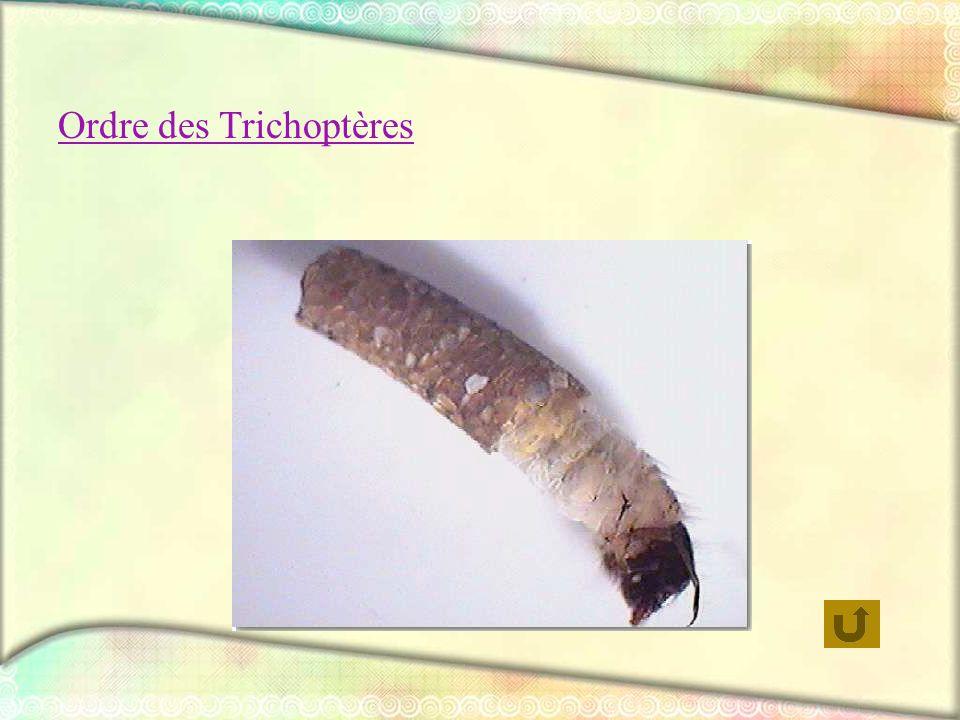 Ordre des Trichoptères