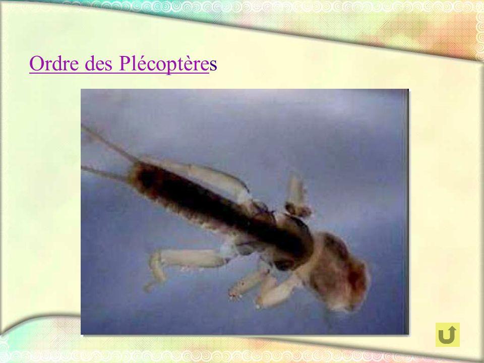 Ordre des Plécoptères
