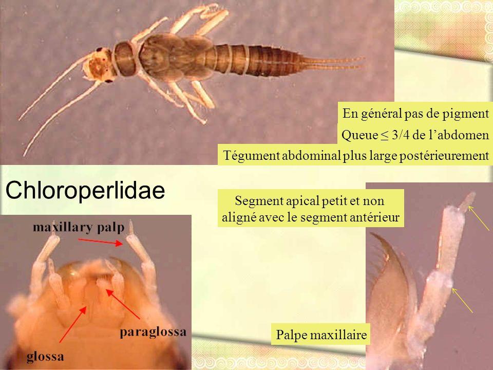Chloroperlidae En général pas de pigment Queue ≤ 3/4 de l'abdomen