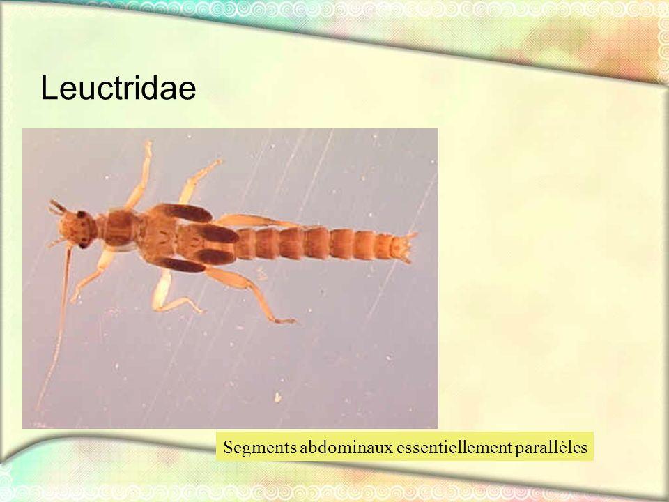 Leuctridae Segments abdominaux essentiellement parallèles