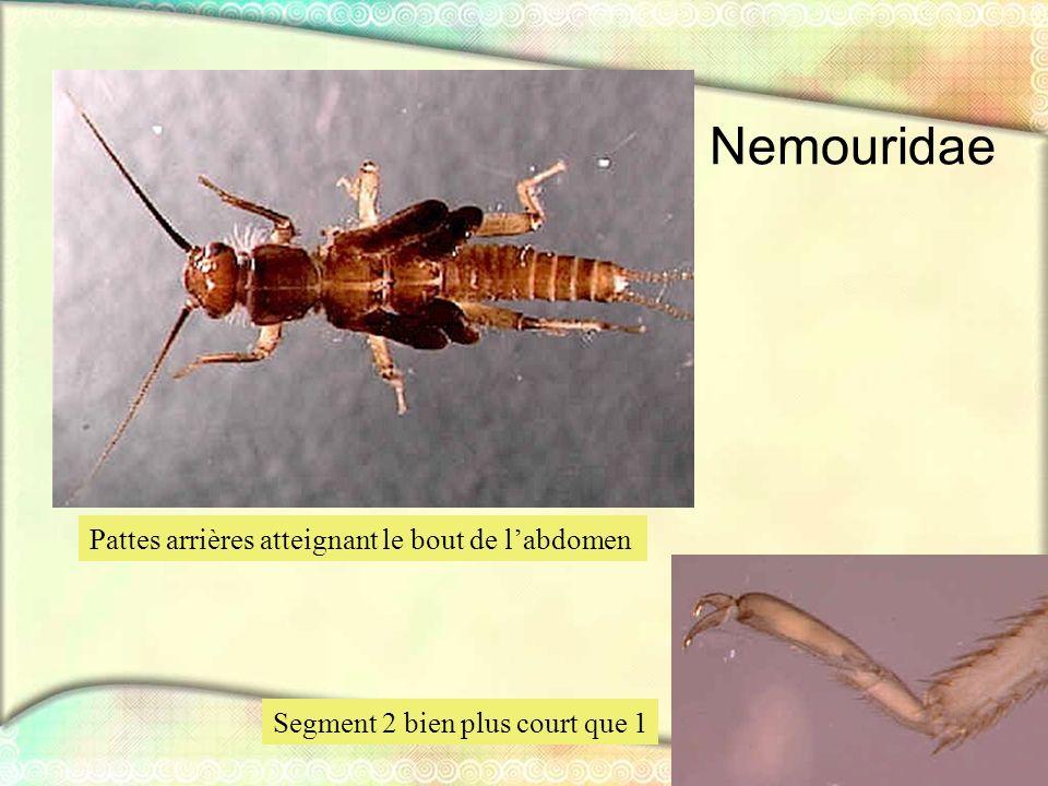 Nemouridae Pattes arrières atteignant le bout de l'abdomen