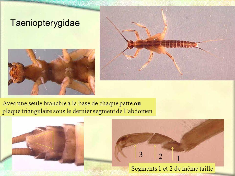 Taeniopterygidae Avec une seule branchie à la base de chaque patte ou. plaque triangulaire sous le dernier segment de l'abdomen.