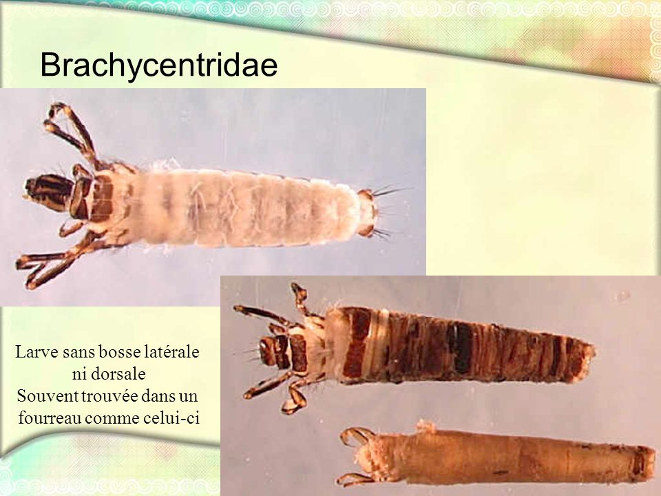 Brachycentridae Larve sans bosse latérale ni dorsale