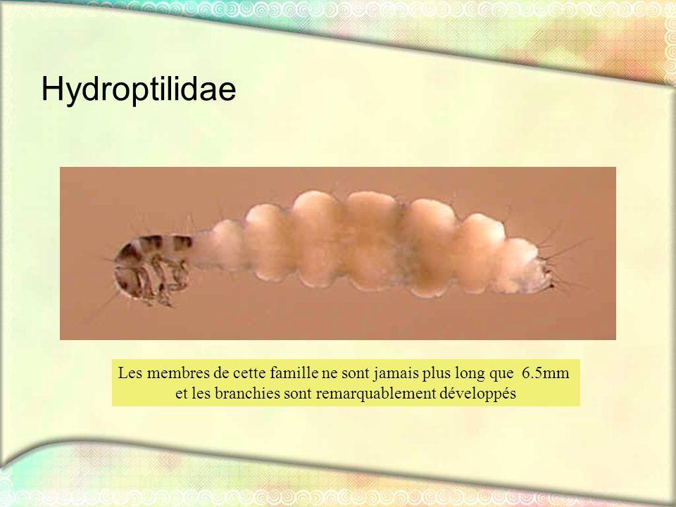 Hydroptilidae Les membres de cette famille ne sont jamais plus long que 6.5mm.