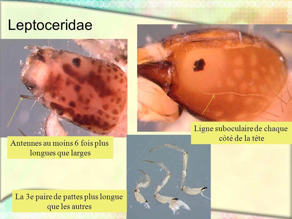 Leptoceridae Ligne suboculaire de chaque côté de la tête