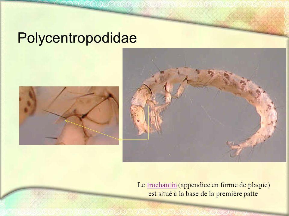 Polycentropodidae est situé à la base de la première patte