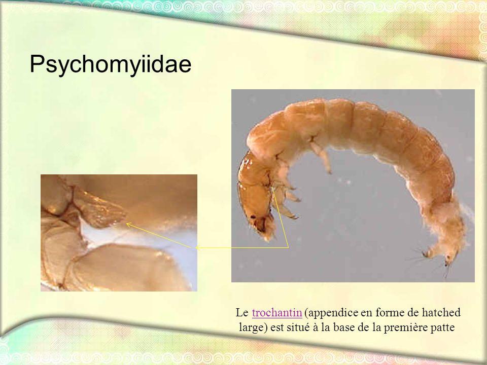 Psychomyiidae large) est situé à la base de la première patte