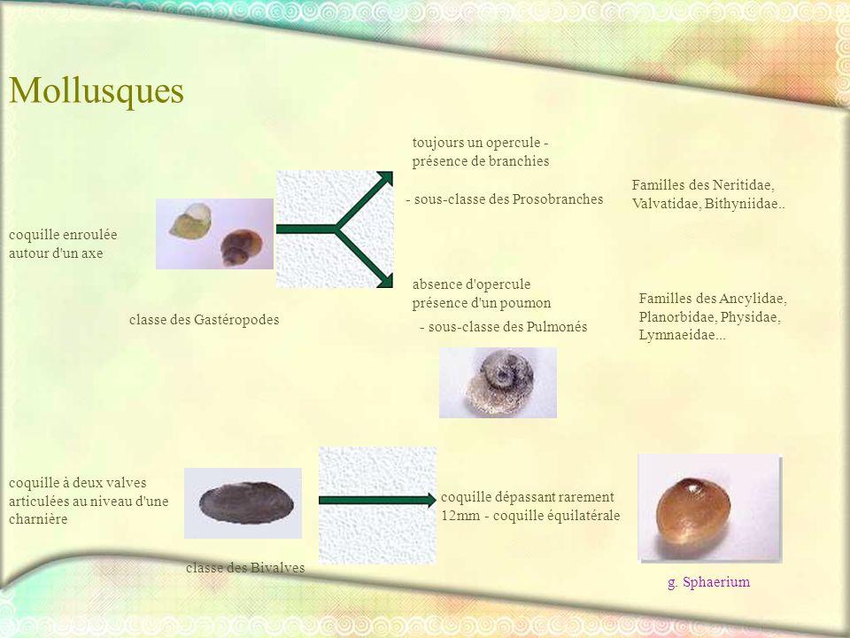 Mollusques toujours un opercule - présence de branchies