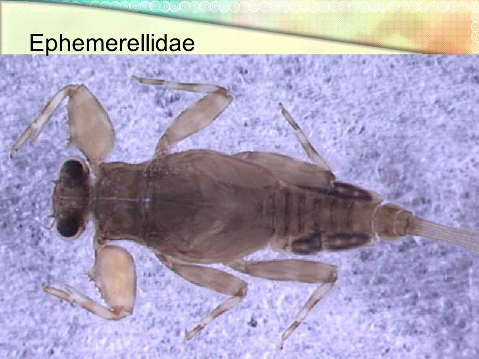Ephemerellidae NYS Department of Environmental Conservation IBGN