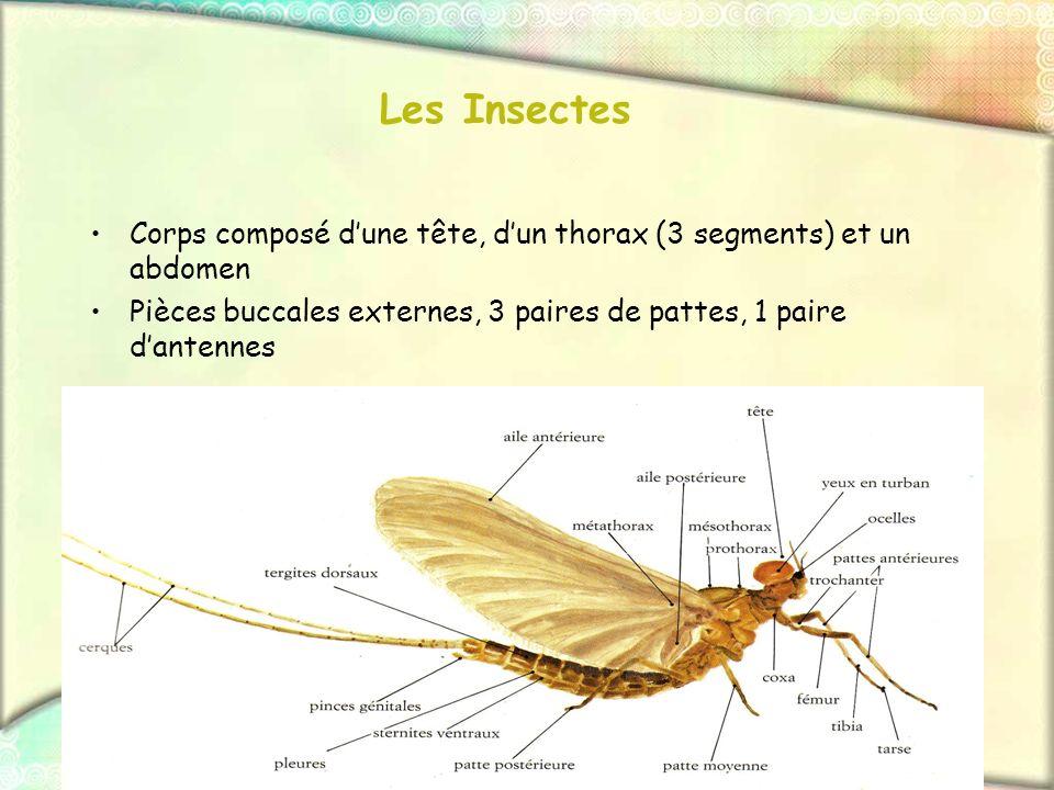 Les InsectesCorps composé d'une tête, d'un thorax (3 segments) et un abdomen. Pièces buccales externes, 3 paires de pattes, 1 paire d'antennes.