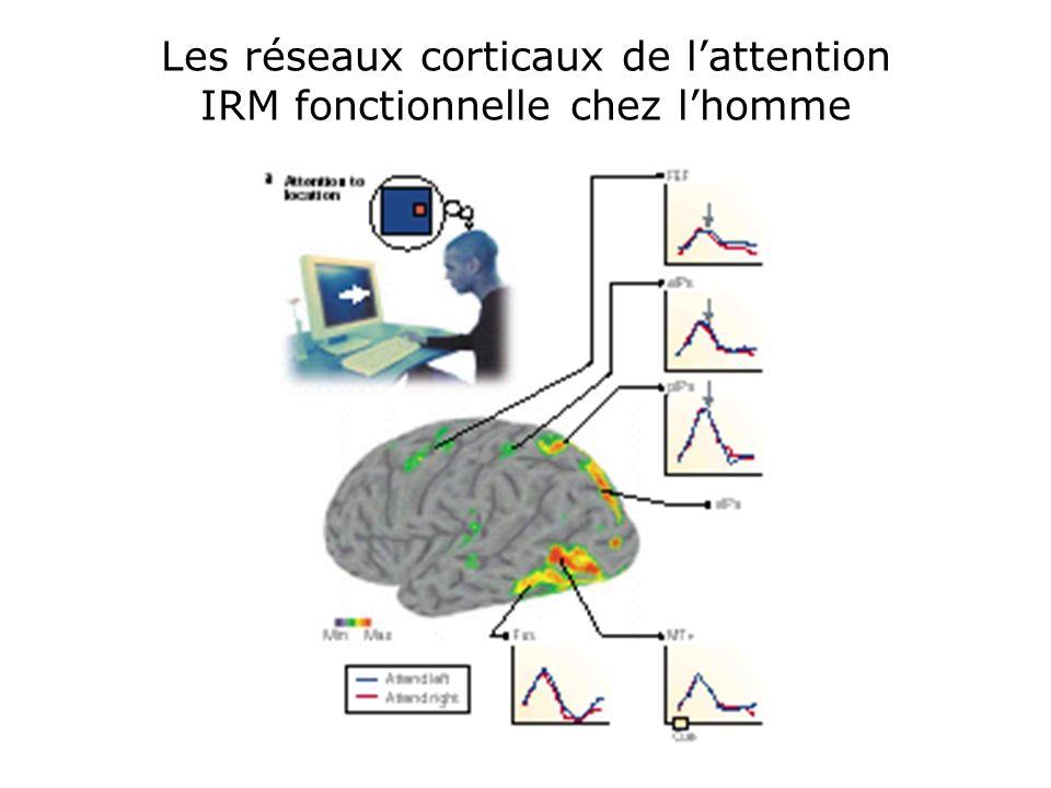 Les réseaux corticaux de l'attention IRM fonctionnelle chez l'homme