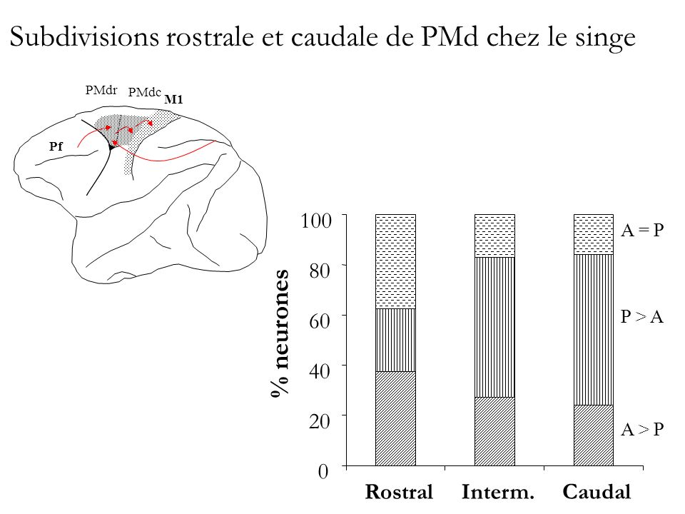 Subdivisions rostrale et caudale de PMd chez le singe