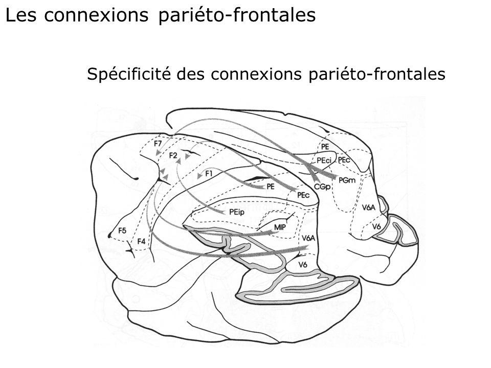 Les connexions pariéto-frontales