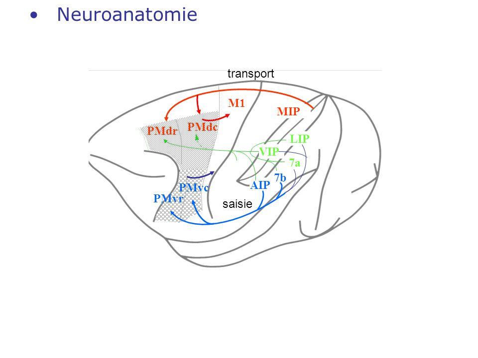 Neuroanatomie transport M1 MIP PMdc PMdr LIP VIP 7a 7b AIP PMvc PMvr