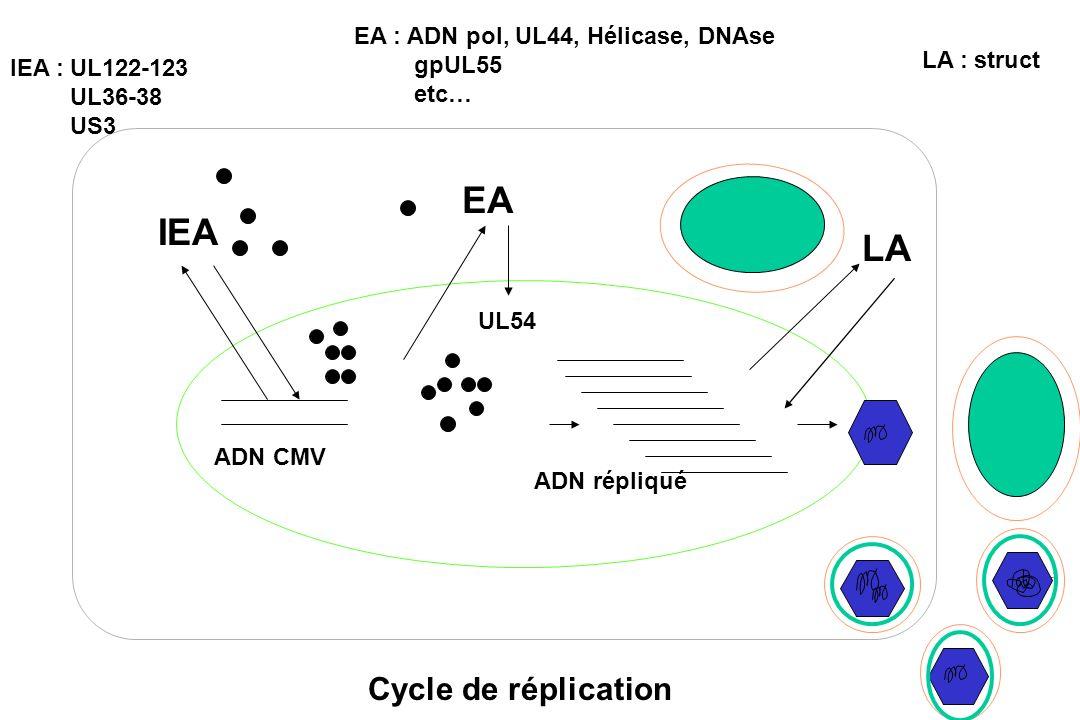 EA IEA LA Cycle de réplication EA : ADN pol, UL44, Hélicase, DNAse