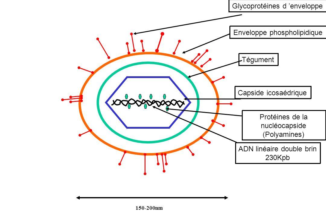 Glycoprotéines d 'enveloppe