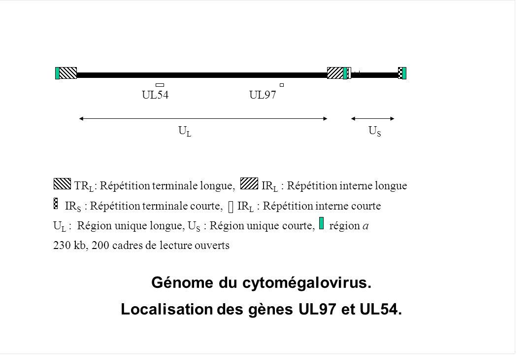 Génome du cytomégalovirus. Localisation des gènes UL97 et UL54.