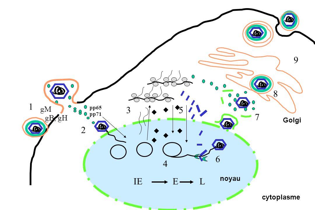 9 8 1 gM pp65 pp71 3 5 7 gB, gH Golgi 2 6 4 IE E L noyau cytoplasme
