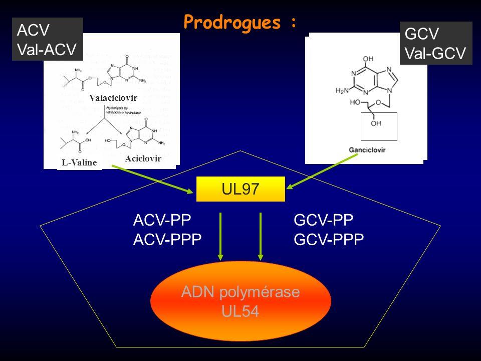 Prodrogues : ACV Val-ACV GCV Val-GCV UL97 ACV-PP ACV-PPP GCV-PP