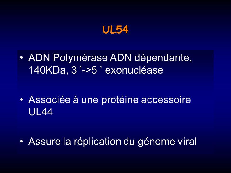 UL54 ADN Polymérase ADN dépendante, 140KDa, 3 '->5 ' exonucléase. Associée à une protéine accessoire UL44.