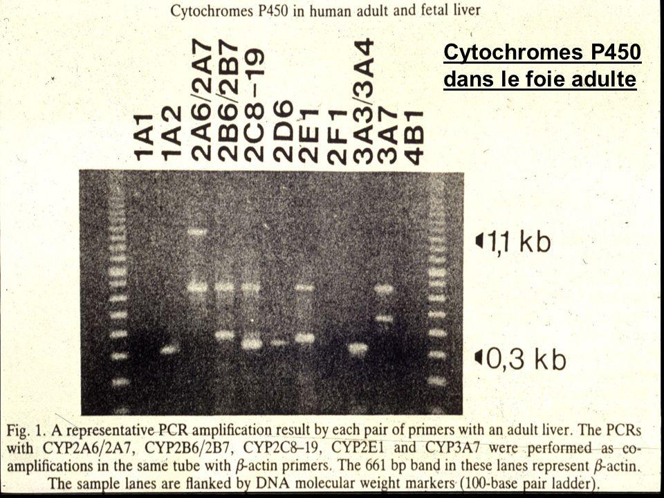 Cytochromes P450 dans le foie adulte