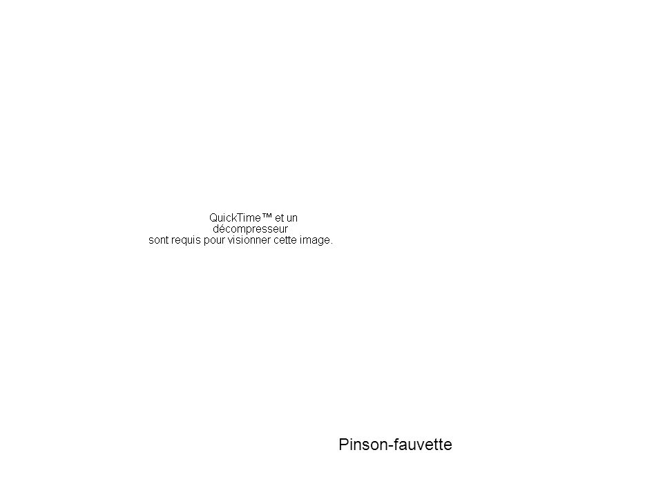 Pinson-fauvette