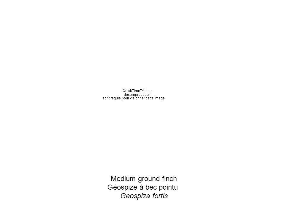 Medium ground finch Géospize à bec pointu Geospiza fortis